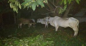 4 ekor sapi yang gagal diangkut oleh pencuri, karena ketahuan warga, Rabu malam.