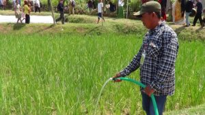 Petani Dusun Suruh Desa Seren Kecamatan Sulang mengairi tanaman padi di lahan tadah hujan.