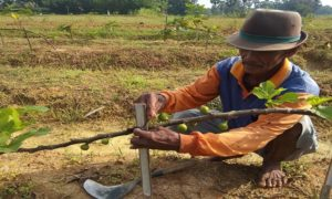 Pengembangan buah tin di Desa Kebonagung Kecamatan Sulang.
