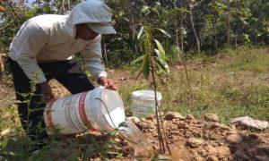 Pekerja menyirami tanaman durian di lahan milik Muntaha, Desa Sridadi, Rembang.
