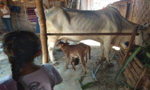 Seorang bocah mengamati anak sapi berkepala dua di Dusun Grabag, Desa Sridadi. Tampak kepala lainnya menggantung di bawah perut.