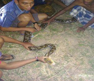 Warga Desa Mojokerto, Kecamatan Kragan menangkap ular pyton, Rabu malam.
