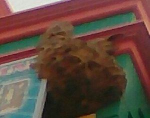 Sarang tawon yang menempel di dinding toko bangunan Hartono, pinggir Jl. Pemuda Rembang.