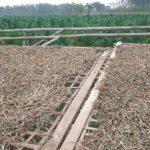 Daun tembakau dikeringkan petani di Desa Megulung, Kecamatan Sumber.