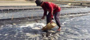 Petani garam di Kecamatan Kaliori, sibuk memanen garam.