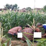 Warga Desa Sidomulyo, Kecamatan Gunem mengevakuasi jenazah korban dari tengah kebun jagung, Kamis sore.