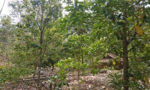 Deretan pohon cengkeh di perbukitan Desa Woro, Kecamatan Kragan.