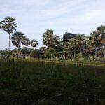 Deretan pohon siwalan di Desa Tanjung, Kecamatan Sulang.