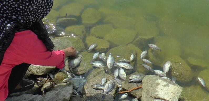 Ribuan Ikan Mati, Penjaga Bendungan Ungkap Dugaan Penyebab