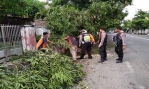 Pohon roboh di jalur Pantura Desa Tasikagung. (Gambar atas) Pohon roboh menutup separuh jalan di jalur Pantura Desa Tritunggal, Rembang.