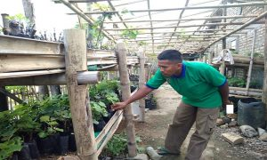 Mohammad Yusuf, warga Dusun Sengkan Desa Japerejo, Kecamatan Pamotan sibuk merawat bibit buah anggur impor, di samping rumahnya, Selasa (15/01).