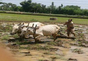 Aktivitas Marsam, petugas PPL pertanian di Kecamatan Sluke, ketika turun ke desa – desa. Tak jarang ikut membantu petani membajak sawah.