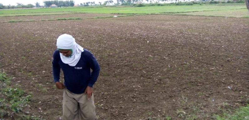 Petani Galau, Serba Bingung Hadapi Masalah Satu Ini