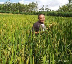 Paminto Dwi Atmojo di tengah tanaman padi miliknya di Desa Pedak, Kecamatan Sulang.