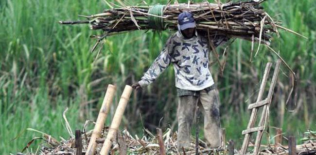 Sempat Terpuruk, Pemerintah Lontarkan Janji Demi Menggairahkan Sektor Tanaman Tebu
