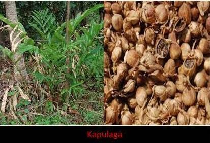 Peluang Besar & Menggiurkan, Petani Rempah Incar Kapulaga