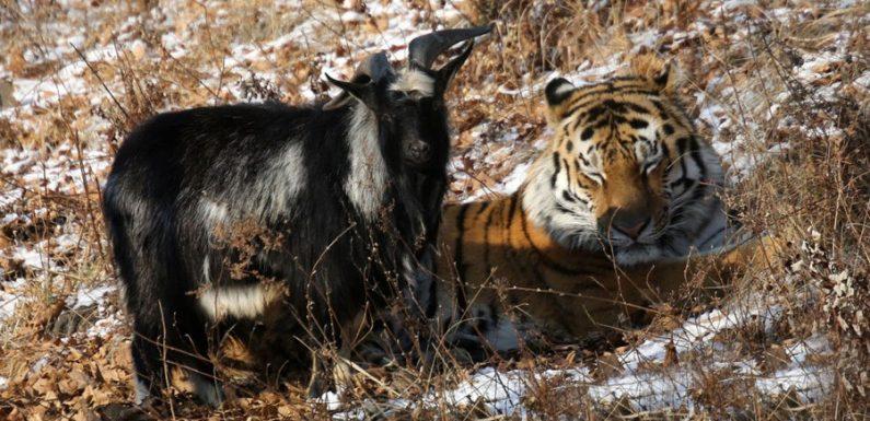 Kambing Sukses Kalahkan Harimau, Kok Bisa ?