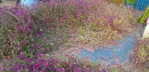 Bunga rusak di THS Padaran. (foto atas) Pengunjung tampak asyik berpose, untuk mendapatkan foto terbagus.