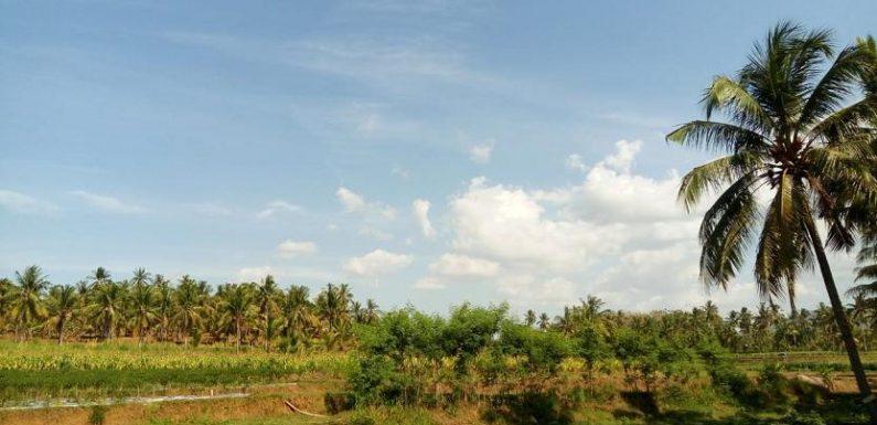 Lebaran Ketupat : Salah Satu Penghasil Terbesar Janur, Desa Ini Jagonya