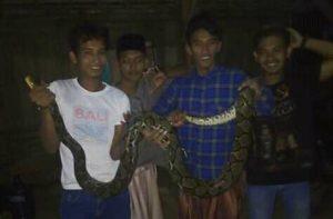 Ular piton ditangkap warga di Dusun Gembul Desa Sumberejo, Kec. Pamotan.