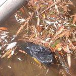 Ikan-ikan mati di sungai Desa Ringin, Kecamatan Pamotan.