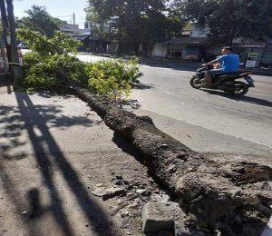 Pohon roboh di Lasem dan rumah ambruk di Desa Kedung, Kec. Pancur, Rabu (21/08).