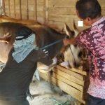 Petugas dari Bidang Peternakan Pemkab Rembang menyuntik sapi di Desa Rendeng, Kecamatan Sale.