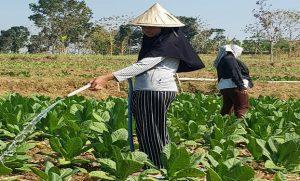Petani menyiram tanaman tembakau, belum lama ini. (Foto atas) Petani menyetor tembakau ke gudang PT. Sadana Arif Nusa, Desa Kemadu Kecamatan Sulang.