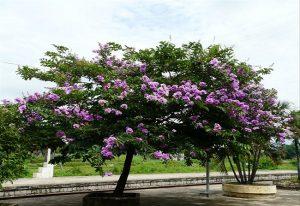 Pohon bungur. (Foto atas) Penebangan pohon palem di Jl. Pemuda Rembang, Selasa (17/12).