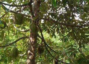 Buah durian di Dusun Ngotoko Desa Pasedan. (Foto atas) Warga Dusun Ngotoko antusias mengambil bantuan bibit buah.