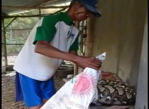 Ular piton di kandang ternak ayam di Desa Pandan, Kecamatan Pancur, dievakuasi ke dalam karung, Selasa (21/01). Tampak perutnya membesar.
