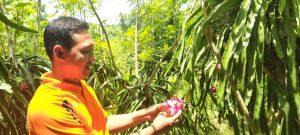 Perangkat Desa Trenggulunan Kec. Pancur menunjukkan buah naga, Selasa (25/02).