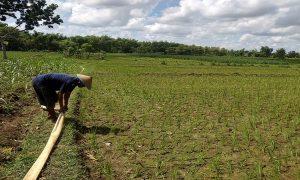 Petani di Desa Sendangagung Kecamatan Pamotan menata selang untuk mengalirkan air ke sawahnya yang mengering, Selasa (04/02).