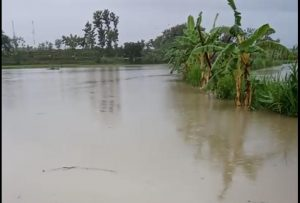 Banjir menggenangi tanaman padi di Dusun Sambong Desa Jatihadi, Kecamatan Sumber, Minggu sore (05/04).