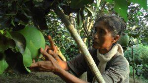 Kartini, menunjukkan buah jeruk di dekat gubuknya. (Foto atas) Kartini saat membakar ketela.