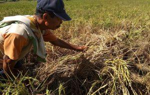 Petani di Desa Joho Kecamatan Sale menunjukkan tanaman padi mengering akibat hama wereng.
