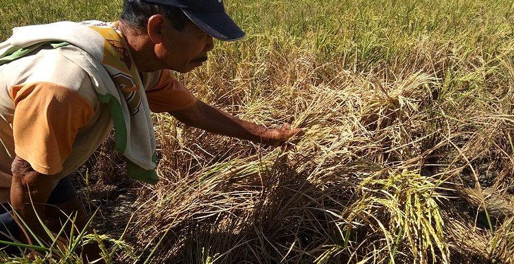 Karena Masalah Ini, Petani Kecamatan Sale Siap-Siap Merugi