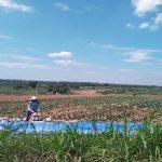 Aktivitas petani tembakau di sebelah selatan Desa Jadi, Kecamatan Sumber.