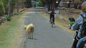 Ternak kambing melintas di jalan dan digembalakan di lahan kosong, Desa Ngotet, Rembang.
