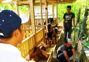 Pengembangan kambing boer di Desa Timbrangan Kecamatan Gunem yang dibantu oleh PT. Semen Gresik.
