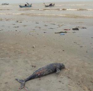 Bangkai ikan lumba-lumba ditemukan terdampar di pinggir pantai Kelurahan Pacar, Rembang.