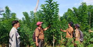 Pegawai KPH Mantingan mengecek tanaman Gamal.