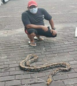 Temuan ular piton di kawasan parkir Pasujudan Sunan Bonang Lasem, Rabu (10 Februari 2021).